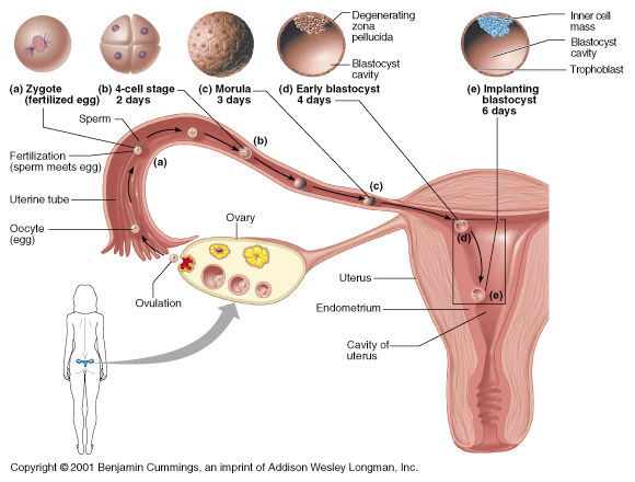 Pregnant and Ovulation