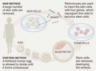Dissertation L Embryon Humain